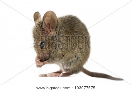 Wood mouse cleaning itself in front of a white background