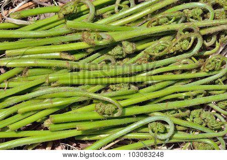 Edible Fern