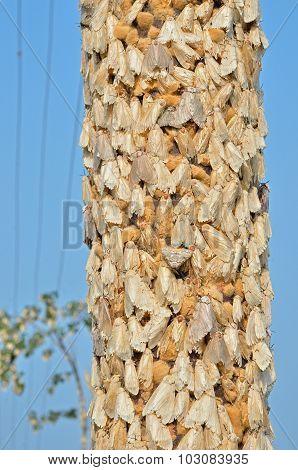 Gipsy Moths