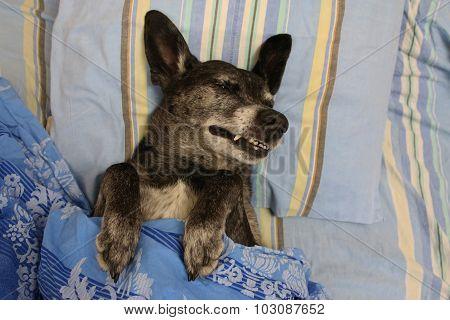 Grey shepherd dog in bed