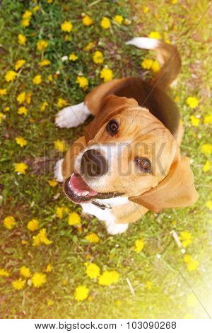 Funny cute beagle dog in park on green grass