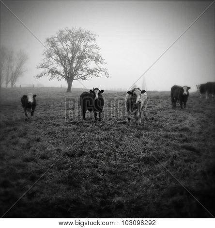 Livestock facing camera, foggy morning