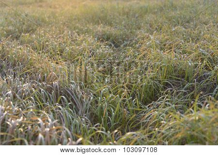 Grass at dawn.