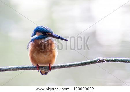 bird Common Kingfisher male (Alcedo atthis) sitting on a branch