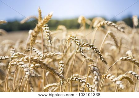 Close Up Of A Wheat Field In Summer