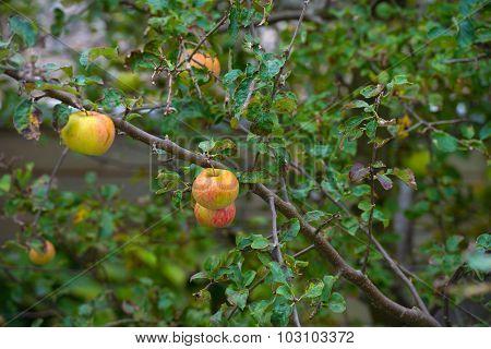 Apples in a fruit tree in a garden