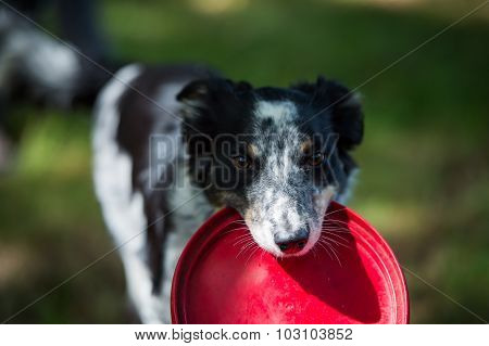 Border collie with toy in mouth