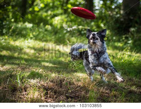 Border collie chasing toy