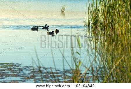 Coots swimming in a lake at sunrise in autumn