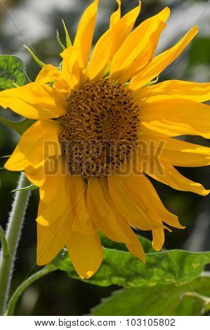 Blooming Of Sunflower