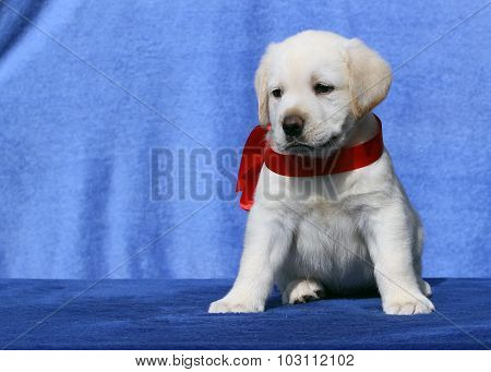 Nice Cute Labrador Puppy On A Blue Background