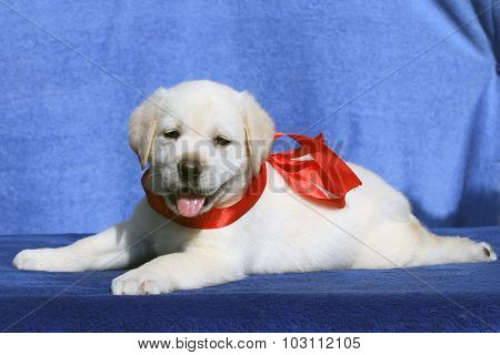 A Nice Cute Labrador Puppy On A Blue Background