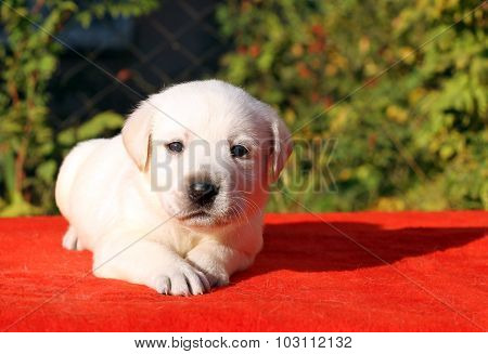 A Nice Cute Labrador Puppy On A Red Background