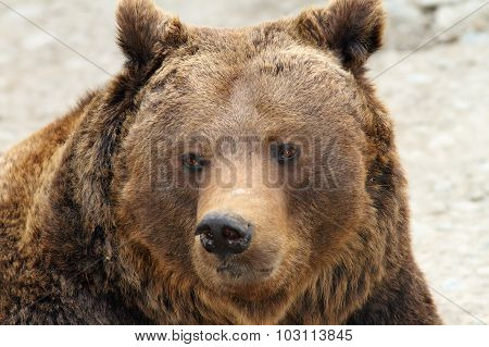 Big Brown Bear Portrait