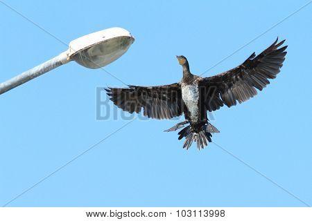 Great Cormorant Landing On Electric Pile