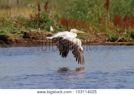 Great Pelican Flying Over Marshes