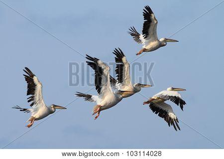 Group Of Great Pelicans In Flight