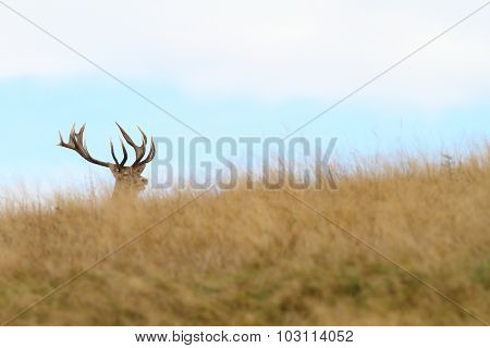 Hidden Red Deer Buck