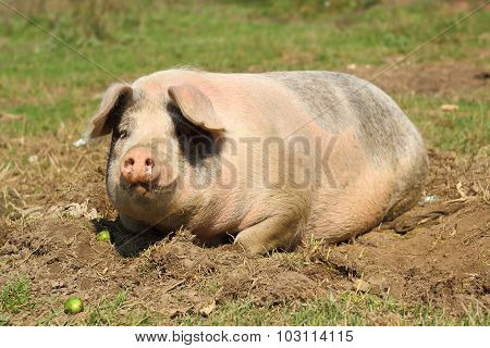 Lazy Sow Laying Down