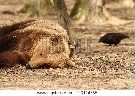 Sleepy Bear And Rook