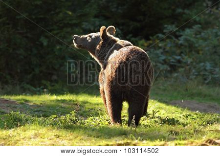 Wild Brown Bear In The Carpathians