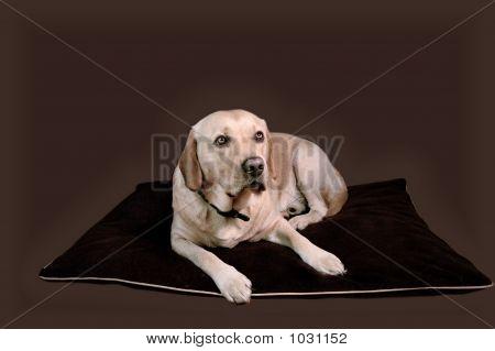 Labrador On Cushion
