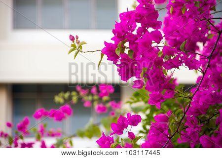 Pink Blooming Bougainvilleas