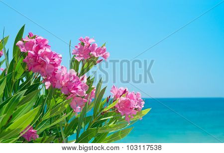 Oleander flowers and sea