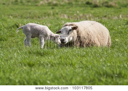 Lamb With Mother