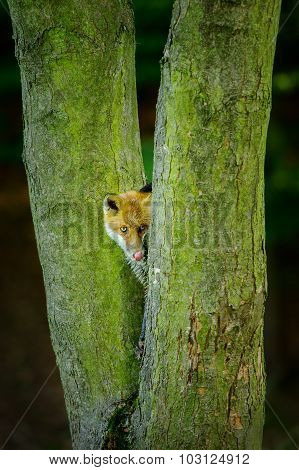 Red Fox Lick It Hidden Between Two Tree Trunks