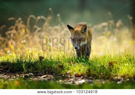 Red Fox From Front View In Autumn Backlight