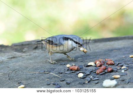 Eurasian nuthatch.