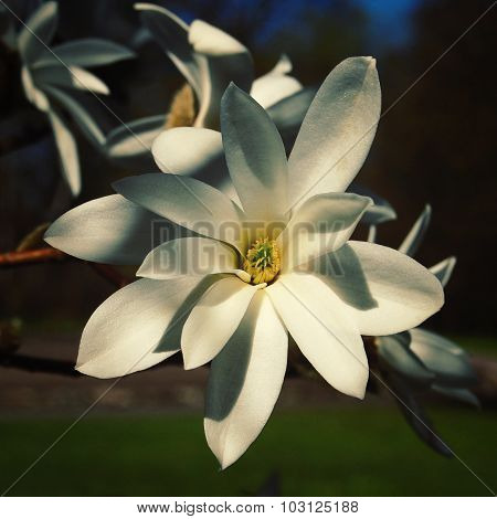 White Flower On The Magnolia Tree. Vintage Photo.
