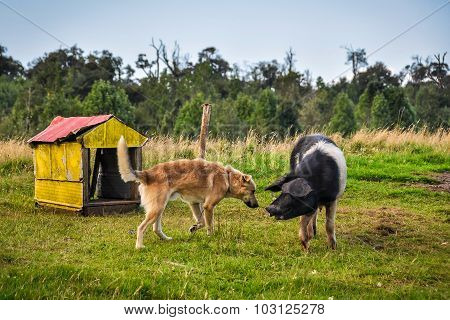 Pig Playing With Dog, Chiloe Island, Chile