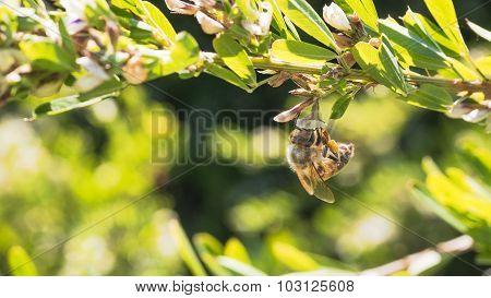 Honey Bee on Bush Clover.