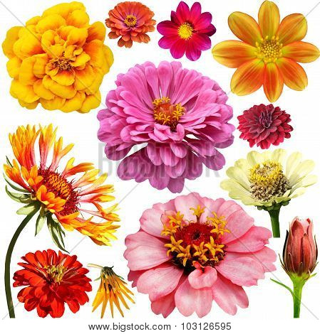 Set Of Colorful Zinnia, Dahlia And Marigold  Flowers