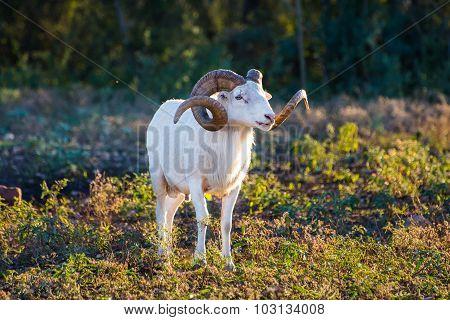 Texas Dall Sheep Ram