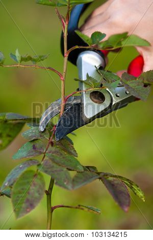 Pruning Rose With Secateurs