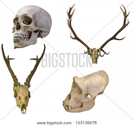 set of four skulls isolated on white background