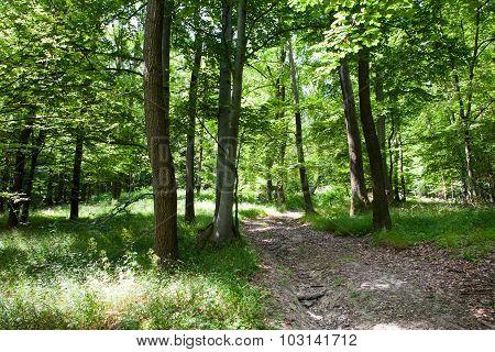 Beautiful Green Summer Forest