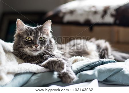 Gray tabby cat on blanket