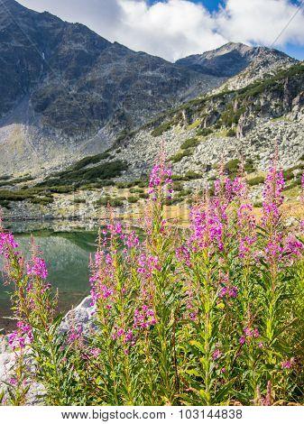 mountain daisy near the lake in rila national park bulgaria