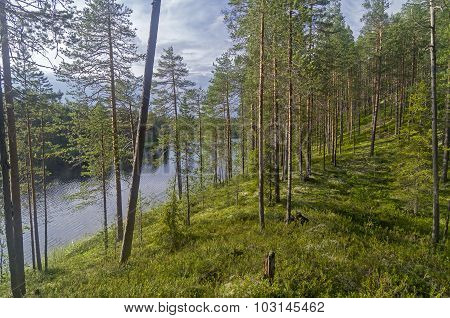 Pine Trees On A High Bank Of Forest Lake.