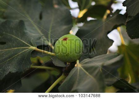 Fig fruit.