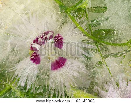 Flower In Ice