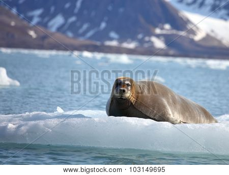 Bearded seal on fast ice
