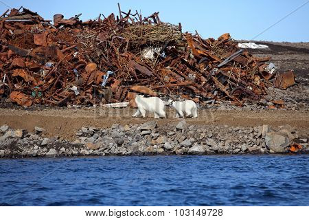 Polar bear survival in Arctic â?? pollution problems