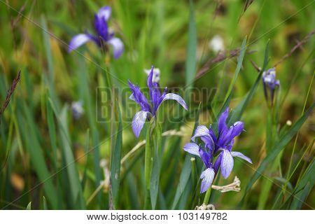 Wild iris flowers - Himalayas