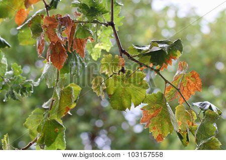 Vine leaves.