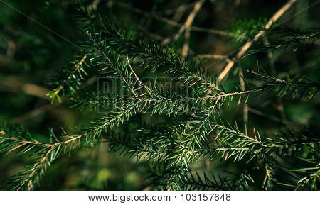 Fragment Of A Fir-tree Branch In The Green Summer Wood